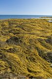 Seaweed, Nova Scotia Stock Photography