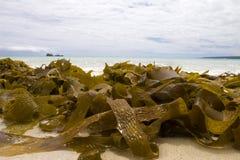 Seaweed in ocean. Closeup of seaweed in front of waves Royalty Free Stock Photo