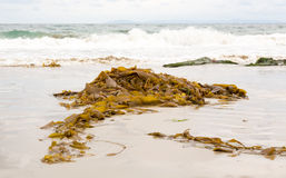 Seaweed by ocean in California Stock Image