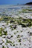 Seaweed och kustlinje Arkivfoto