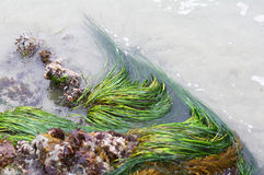Seaweed in the Pacific Ocean Royalty Free Stock Photo