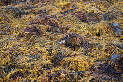 Seaweed. Picture taken on seaweed during low tide Stock Photography