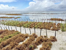 Seaweed plantation. Plantation farmed algae in the Indian Ocean. Zanzibar. production. business stock images