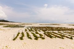 Seaweed plantation in ocean at  the low tide time in summer day. In Africa. no people around stock images