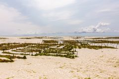 Seaweed plantation in ocean at  the low tide time in summer day. In Africa stock photography