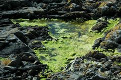 Seaweed in a puddle Royalty Free Stock Images