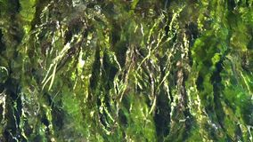 Seaweed on a River, high up View. Slow motion. Seaweed on a River, high up View of the Water Flowing. Slow motion stock video footage