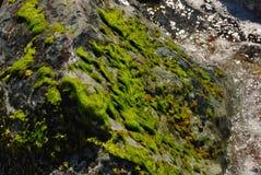 Seaweed on rock Stock Photo