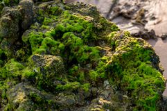 Seaweed on the rock. With sunlight on it Royalty Free Stock Photo