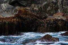 Seaweed on rock. Seaweed in Sub-Antarctic waters Royalty Free Stock Photography