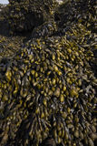 Seaweed on rocks. Carpet of seaweed covering beach rocks Royalty Free Stock Photography