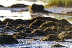 Seaweed rocks beach low tide Royalty Free Stock Photos