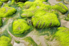 Seaweed on rocks Stock Photography