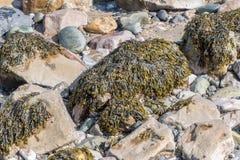 Seaweed on Rocks Royalty Free Stock Photography