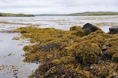 Seaweed on Rocks Stock Photo