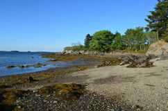 Seaweed and Rocks on the Shore of a Maine Island Royalty Free Stock Images