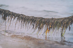 Seaweed on a rope Stock Photo