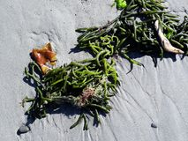 Seaweed on the sand. Bright green seaweed in two clusters, on a fine sandy beach Royalty Free Stock Images