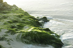 Seaweed on the sand. Stock Image