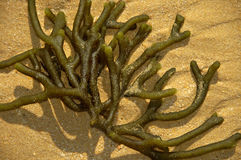 Seaweed in the sand Stock Image