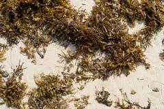 Seaweed on sand Royalty Free Stock Photo