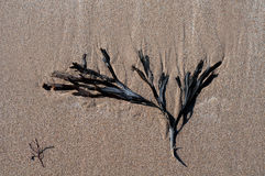 Seaweed on the sand Stock Image