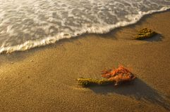 Seaweed in the beach and wave stock photography
