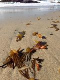Seaweed in sand Stock Images