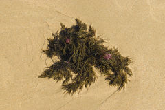 Seaweed on sandy background royalty free stock images