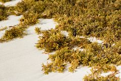 Seaweed on a sandy beach in Punta Cana, La Altagracia, Dominican Republic. Close-up. Stock Photo