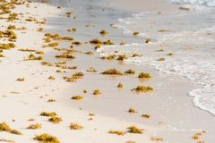 Seaweed on a sandy beach in Punta Cana, La Altagracia, Dominican Republic. Copy space for text. Seaweed on a sandy beach in Punta Cana, La Altagracia, Dominican royalty free stock photos