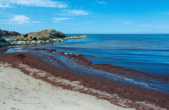Seaweed on sandy beach. In Skrea, Falkenberg, Sweden in June Stock Photos