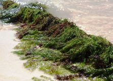 Seaweed, sea grass Royalty Free Stock Photography