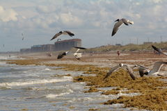Seaweed and seagulls on the shore Stock Images