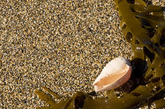Seaweed and shell Royalty Free Stock Images