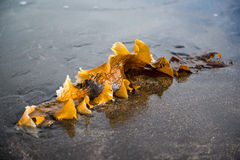 Seaweed on the shore of the Atlantic Ocean, Iceland Royalty Free Stock Image