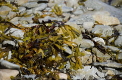 Seaweed. Seaweed on the shore of the Baltic Sea Stock Photography