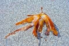Seaweed on a small gravel on the beach. In south west of Ireland. Close up royalty free stock photos