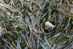 Seaweed Snail. Oregon, circa May 2017 - photo of aquatic snail on seaweed royalty free stock photos
