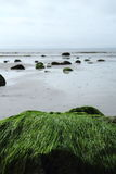 Seaweed stone. Stone covered by seaweed on the beach Stock Photography
