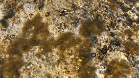 Seaweed on the stone. The waves covers the stone. Theplant is moving from the moving water. Tropical nature at the seashore stock video