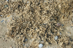 Dried seaweed on beach strandline Royalty Free Stock Photo