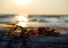 Seaweed at sunset. Seaweed drying on a log at sunset Stock Photos