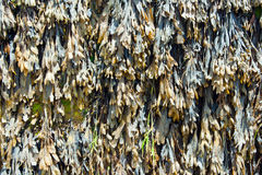 Seaweed Texture. Closeup in sunlight Royalty Free Stock Photography