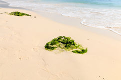 Seaweed on a tropical beach Stock Images