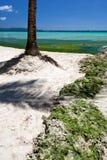 Seaweed in turquoise sea, water plant on Boracay island Stock Photography