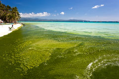 Seaweed in turquoise sea, water plant on Boracay island Royalty Free Stock Images