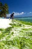 Seaweed in turquoise sea, water plant on Boracay island Royalty Free Stock Photo