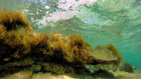 Seaweed underwater with fishes. A medium shot of seaweed underwater with fishes stock footage