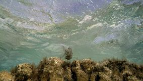 Seaweed underwater with fishes. A medium shot of seaweed underwater with fishes stock video